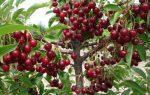 Самые урожайные сорта вишни